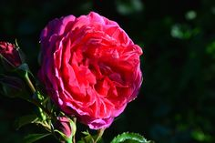 Soul – ruusu | Vesan viherpiperryskuvat – puutarha kukkii