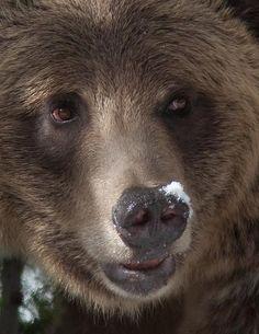 grizzly ~Repinned Via Carolyn Ferrandino