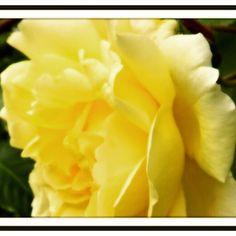 Yellow Rose Anne Mullett