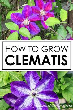 This Clematis care guide is AWESOME! It tells you how to grow Clematis, how to prune Clematis and what varieties will do well in your garden design. Click through to learn all about these perennial vines with beautiful flowers. Clematis Care, Blue Clematis, Clematis Trellis, Clematis Plants, Autumn Clematis, Clematis Flower, Garden Plants, Fruit Garden, Flowers Garden