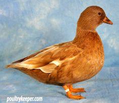 Duck Breeds   ... poultrykeeper com duck breeds call ducks # sigprogalleriace1a190a0b