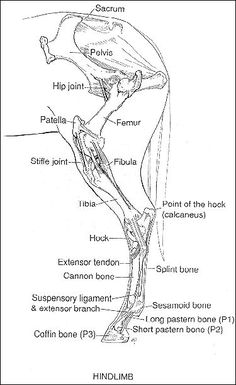 Horse Anatomy, Leg Anatomy, Anatomy Drawing, Horse Information, Horse Therapy, Horse Care Tips, Horse Facts, Horse Camp, Animal Science