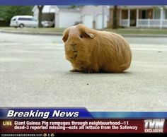 guinea pig pictures with captions | Breaking News - Giant Guinea Pig rampages through neighbourhood--11 ...