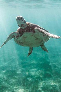 México cuenta con un enorme potencial como destino sostenible y está encaminado en muchos aspectos a dar pasos hacia la protección del medio ambiente. Además, cuenta con de 40 sitios considerados como Reserva de la Biosfera, como la Isla de Cozumel. Turtle, Travel, Animals, Cozumel Island, Wonders Of The World, Destiny, Islands, Turtles, Viajes