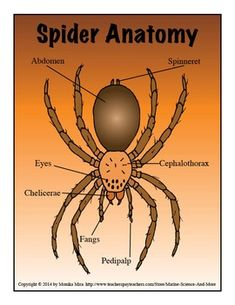 Spiders | Pinterest | Spider, Anatomy and Insects