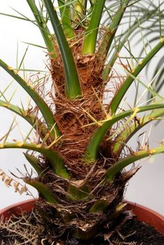 cuidar palmera pho
