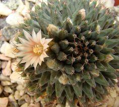 Mis Plantas - My plants: Cactus: Mammillaria sempervivi