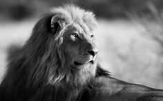 black and white photos | Black and white wallpaper with lion | HD animal background photo