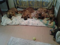Great nanas lil ranga army......3 generations........bull mastiff........Roxy (nana), Bi+ch (daughter/mum), puppies .... 8wks old........