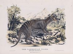 An 1869 hand-tinted drawing of a Tasmanian tiger by Victor A. Prout. Because the Tassie tiger went extinct in the 1930s, there are just a few photos and drawings of the species in existence.