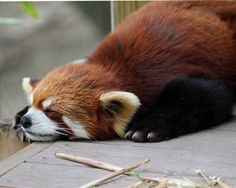 It's nap time for this sleepy red panda. Catch those ZzzZzz's. #baboonbamboo