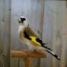 Les plus beaux Mutation du Chardonneret que des merveilles <3 ;) #الحسون #المقنين #القرديل #سهره  #Chardonnerert #Canari #Mulet #MuletOiseau #Oiseau #Birds #Animaux #Goldfich #Jilguero #Cardellino #καρδερίνα #Sakakuşu #Chien #Chat #Pigeon #Cheval #Science #Reptile #Poisson #Plantes #Hibiscus #Alger #Algérie #ChardonneretGolden #BilelKios