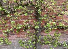 Espaliers climbing plant - autumn fruit, spring blossoms and lives through winter