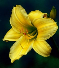 Daylily Lost Baby Tattoo, Scented Oils, Types Of Flowers, Day Lilies, Mellow Yellow, Flower Designs, Flower Art, Beautiful Flowers, Tattoo Ideas