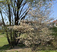 Felsenbirne (Amelanchier) im April Freundlich, Plants, Insects, Plant, Planets