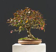 Euonymus, burning bush