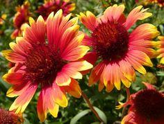 Oklahoma State Wildflower Indian Blanket | Indian Blanket, the state wildflower of Oklahoma