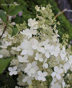 Hydrangea Paniculata Brussels Lace