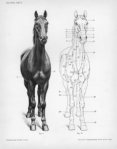 Das Pferd, Tafel 9 The horse Dittrich, Herman These are cranial views (from the front) of the integument of the horse and the location of superficial muscles as seen in a diagram of the horse. Ellenberger, Wilhelm, Hermann Baum, and Hermann Dittrich. 1898. Handbuch der Anatomie der Tiere für Künstler. Leipzig: Dieterichsche Verlagsbuchhandlung.