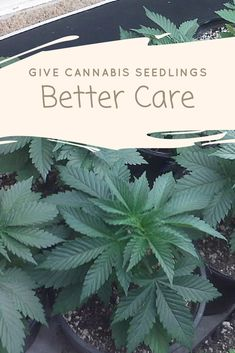 How to get your cannabis seedlings off to the best start