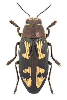 Buprestis novemmaculata Linnaeus, 1767 ♂