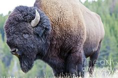 I See You Art Print by Scotts Scapes. Native American Animals, American Bison, Chow Chow, Rare Animals, Wild Animals, Buffalo Pictures, White Bison, Lynx, 2nd Hand Smoke