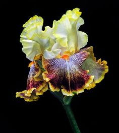 Iris Of Many Colors Photograph