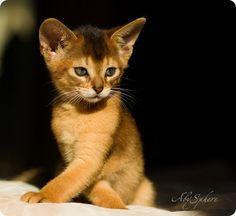 Abyssinian cat/ when my cat Nirvana, was a little baby.