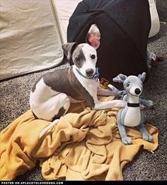 Italian Greyhound Pup...she has her own little Italian greyhound stuffed toy!  How cute is that?