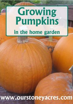 Composting Hacks Growing Pumpkins More - Growing Pumpkins in your home garden is a fun and easy crop to grow. You kids will love it. But watch out, it takes a lot of space! Vegetable Garden Tips, Planting Vegetables, Organic Vegetables, Growing Vegetables, Veggies, Hydroponic Gardening, Hydroponics, Gardening Tips, Raised Garden Bed Plans