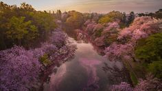 Tokyo-based photographer Danilo Dungo uses drones to take stunning pictures of Japanese cherry blossoms.