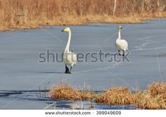 Stock Photo: Whooper swan (Cygnus Cygnus) couple walking on the ice of a frozen lake in the spring in Finland.