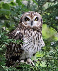 Short-eared Owl by SnowPoring