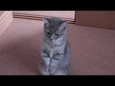 Japanese Cat Goes Through His Morning Ritual Of Asking His Owners For Breakfast - YouTube