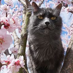 #Murmur is high on spring #purrrfect #blossom /// Don't forget to participate in the giveaway! see previous post! #springcat #catphoto #awesome #apricottree #catsofinstagram #catsofgram #sunlight #catintree #inthegarden #today #crazycatlady #gatto #instacute #instacat #instapet #catsoftheworld #ilovemycat #catlove #purrr #meow #instafamous #purrrfect #meow #Regram via @darkmaskedcats Minimal Poster, Cute Kittens, Cat Silhouette, All About Cats, Cat Quotes, Flowering Trees, Cat Tattoo, Grumpy Cat, Crazy Cat Lady