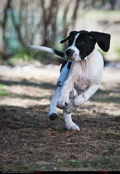 English Pointer - Our KATIE is border collie/English pointer...she is absolutely gorgeous!!!!