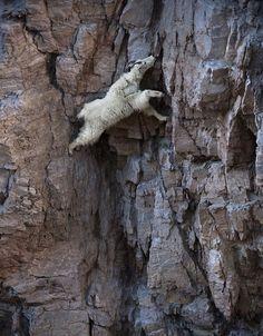 Отвлекатор.ру Эти горные козлы не ведают страха У всех животных своя экологическая ниша, свой ареал обитания. У горных козлов всё �...