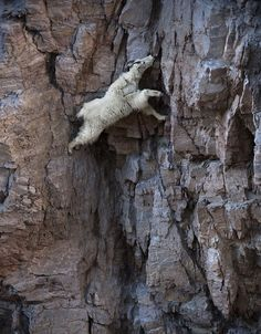 Great pictures to use as a pre assessment for species adaptations, These 36 Goats On Cliffs Don't Know What Fear Is |