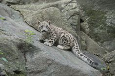 Snow Leopard Cub Bronx Zoo....Meet the new addition to New York City's Bronx Zoo! The zoo released adorable photos of its baby snow leopard cub, born in April to mom Maya and dad Leo.