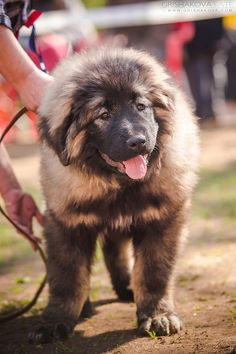 Mastiff Breeds, Dog Breeds, Caucasian Shepherd Puppy, Russian Bear Dog, Animals Beautiful, Cute Animals, Tibetan Mastiff, Dog Show, Big Dogs
