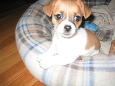 It's a Jack Chi! A Jack Russell Chihuahua mix puppy! I WANT ONE SOOO BAD