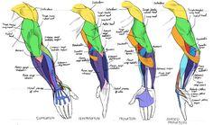 arm muscles - Buscar con Google