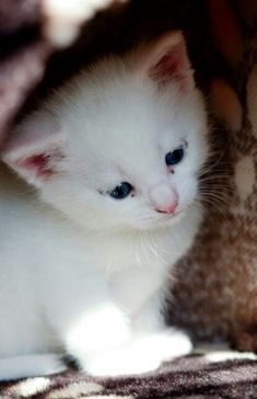 14f4ca0ba55c1e Turkish Angora Cat Breed Information