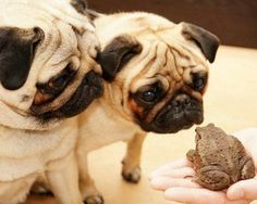 Be kind to little things. ❤ Pug love!