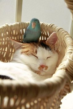 A parrot and a sleeping cat