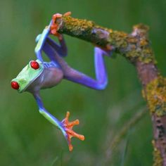 Colourful red eyed tree frog