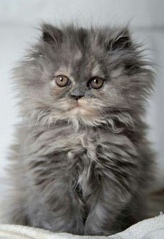 A very cute flurry gray color kitten. How can you resist this cuteness?