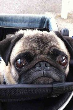 "Pugs are masters of the ""I'm so adorable you can't resist me"" look"