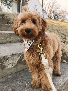 Goldendoodle Haircuts, Goldendoodle Grooming, Mini Goldendoodle Puppies, Dog Haircuts, Puppy Grooming, Goldendoodles, Labradoodles, Medium Goldendoodle, Grooming Salon