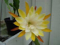 """Epiphyllum """"Shannon"""" for make gumpaste Flower"""